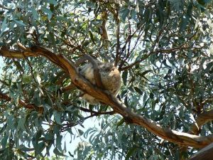 197_sedere koala